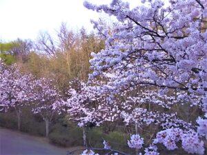 桜 お花見 3月